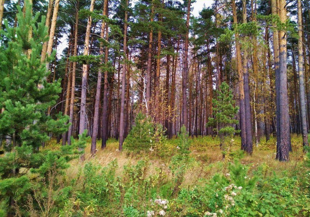 Кашпирский сосновый древостой